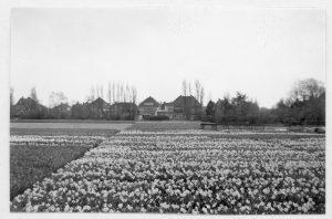 Bloeiende narcissen, waarschijnlijk de 'Dichtersnarcis' Narcissus poeticus Actaea, op bollenvelden tussen de Emmalaan en de Hofdijck. 6 april 1960.