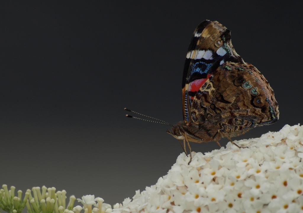 2de prijs augustus 2016. Atalanta vlinder van de andere kant. Fotograaf Mieke Doets