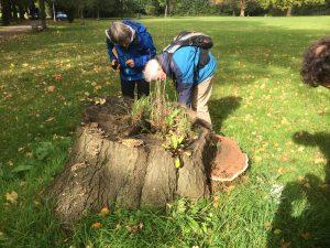 MEC paddenstoelendeskundige Joop Vlieg inspecteert een boomstronk met tenminste vijf soorten paddenstoelen. Rechts aan de stronk de Tonderzwam